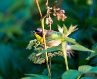 Common Yellow Throat. A broad black mask lends a touch of highwayman mystique to the male Common Yellowthroat. Look for these furtive, yellow-and-olive warblers Stock Photos