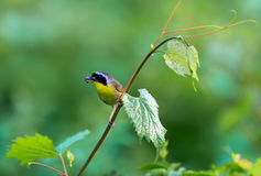Common Yellow Throat. A broad black mask lends a touch of highwayman mystique to the male Common Yellowthroat. Look for these furtive, yellow-and-olive warblers Stock Photography