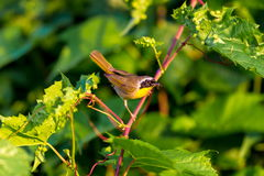 Common Yellow Throat. A broad black mask lends a touch of highwayman mystique to the male Common Yellowthroat. Look for these furtive, yellow-and-olive warblers Stock Photo