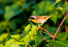 Common Yellow Throat. Stock Image