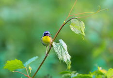Common Yellow Throat. Royalty Free Stock Photo