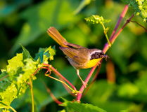 Common Yellow Throat. Royalty Free Stock Photography