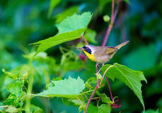 Common Yellow Throat. Stock Photography