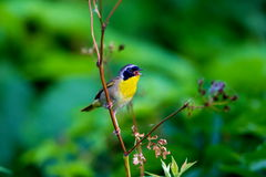 Common Yellow Throat. Stock Images