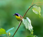 Common Yellow Throat. Royalty Free Stock Photos