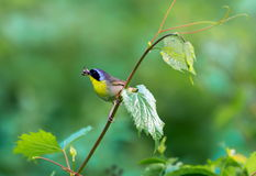 Common Yellow Throat. Royalty Free Stock Image