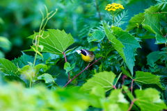 Common Yellow Throat. Stock Photo