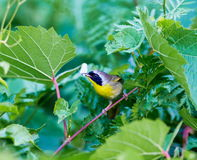 Common Yellow Throat. Stock Photos