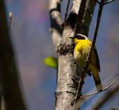 Common Yellow Throat. Wild birendothermic vertebrates perching on a branch in the sun Royalty Free Stock Images
