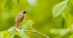 Common Yellow Throat 2 Royalty Free Stock Images