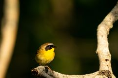 Common Yellow Throat. Wild birendothermic vertebrates perching on a branch in the sun Royalty Free Stock Image