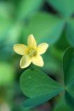 Common yellow woodsorrel or Common yellow oxalis (Oxalis stricta Stock Images