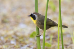 Common Yellowhtroat in a Florida Marsh During Spring Migration. Male Common Yellowhtroat (Geothlypis trichas) in a Florida Marsh During Spring Migration Royalty Free Stock Image