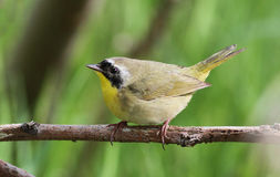 Common Yellowthroat Royalty Free Stock Photos