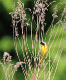 Common Yellowthroat Warbler. A common yellowthroat warbler clings to an old goldenrod stalk Stock Images