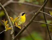 Common Yellowthroat. A beautiful male Common Yellowthroat perches on a branch in a Wisconsin woodland during spring migration Stock Images