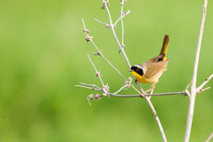 Common Yellowthroat. On a branch royalty free stock photography