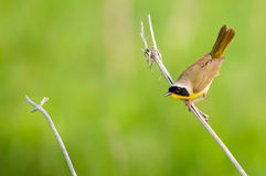 Common Yellowthroat. On a branch royalty free stock image
