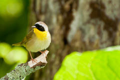 Common Yellowthroat. A Close up of a Common Yellowthroat Stock Photo