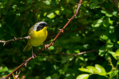 Common Yellowthroat. A Close up of a Common Yellowthroat Royalty Free Stock Images