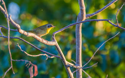 Common Yellowthroat in the evening sun Stock Photography