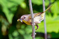 Common Yellowthroat Royalty Free Stock Photography