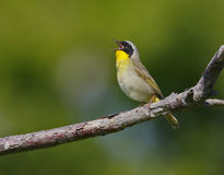Common yellowthroat (geothlypis trichae) Stock Photo