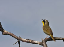 Common yellowthroat (geothlypis trichae) Stock Photography