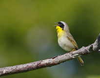 Common yellowthroat (geothlypis trichae) Stock Images