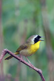 Common Yellowthroat, Geothlypis trichas. A male Common Yellowthroat Warbler sings to protect his territory from other males Royalty Free Stock Images