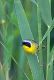 Common Yellowthroat (Geothlypis trichas). Perched in the tall reeds royalty free stock photo