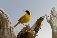 Common Yellowthroat (Geothlypis trichas) Royalty Free Stock Photos