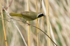Common Yellowthroat - Geothlypis trichas. Male Common Yellowthroat perched on a dead reed looking for a meal. Rouge National Urban Park, Toronto, Ontario, Canada Royalty Free Stock Photo