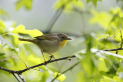 Common Yellowthroat (Geothlypis trichas trichas). Spring migrant female in breeding plumage in small bush Royalty Free Stock Image