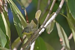 Common Yellowthroat (Geothlypis trichas trichas) Royalty Free Stock Images