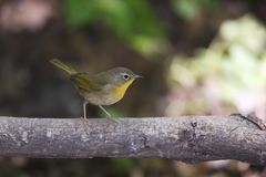 Common Yellowthroat (Geothlypis trichas trichas) Stock Images