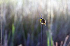 Common Yellowthroat, Geothlypis trichas Royalty Free Stock Photo