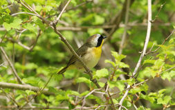 Common Yellowthroat, Geothypis trichas. A colorful male wood warbler with black mask and yellow throat perching in green shrub on spring migration Long Point Stock Photos