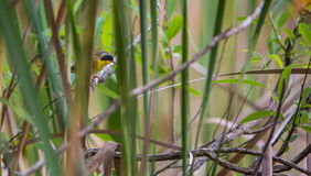 Common Yellowthroat hiding in dense vegetation Royalty Free Stock Photography