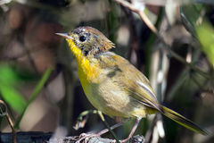 Common Yellowthroat. Immature Male Common Yellowthroat standing on a branch Stock Photo