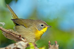 Common Yellowthroat Juvenile Male. Young Juvenile Male Common Yellowthroat standing on a branch Stock Image