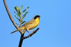 Common Yellowthroat, Male, Canada. Common Yellowthroat, Male, British Columbia, Canada Stock Photography