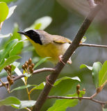Common Yellowthroat. Male Common Yellowthroat (Geothlypis trichas) warbler perched in a tree Royalty Free Stock Photography