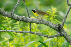 Common Yellowthroat. Male Common Yellowthroat perched on a branch Royalty Free Stock Photography