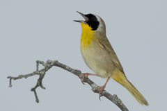 Common Yellowthroat. Male Common Yellowthroat perched on a branch singing Royalty Free Stock Photo