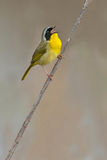 Common Yellowthroat. Male Common Yellowthroat perched on a dead reed, singing Stock Photos