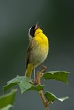 Common Yellowthroat Shouting Out. Common Yellowthroat (Geothlypis trichas) shouting out your message to the world stock photography