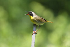 Common Yellowthroat Singing Stock Image