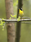 Common Yellowthroat. A Common Yellowthroat warbler calls from a tree branch with spring leaves emerging Stock Image