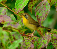 Common Yellowthroat Warbler Stock Images